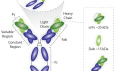 Figure 1: Average sizes of Fab, dAb, and scFv antibody fragments, each of which has a kappa light chain that binds protein L without interfering with the antigen-binding site
