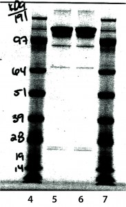 Figure 8: Nonreduced sodium-dodecyl sulfate polyacrylamide gel electrophoresis (SDS-PAGE)