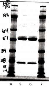 Figure 9: Reduced sodium-dodecyl sulfate polyacrylamide gel electrophoresis (SDS-PAGE