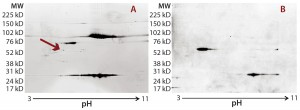 Figure 2: Locating the immunoreactive spot on 2D gels for HCP identification by LC-MS; DS sample was resolved on two identical 2D gels. One 2D gel was stained using a silver stain kit (a); the other was transferred to a nitrocellulose membrane for anti-HEK HCP Western blotting (b). An arrow on the silver-stained gel (a) points to protein spots that matched the Western blot spots (c). Undigested DS sample was labeled with Cy2 dye (shown in green), thrombin- digested DS sample was labeled with Cy3 dye (shown in red). The arrow points to a major 70-kDa HCP spot that was unchanged after thrombin digestion.