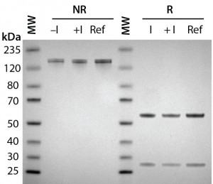 Figure 2A: Antibody protein characterization — SDS-PAGE analysis performed on 4–12% BisTris gels under reducing (R) and nonreducing (NR) conditions with a reference trastuzumab antibody; antibodies were purified from clarified harvest supernatant and analyzed for protein quality.