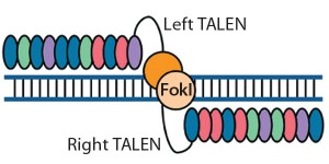 Figure 2: Transcription activator-like effector (TALE) nucleases are fusions of the FokI cleavage domain and DNA-binding domains derived from TALE proteins. TALEs contain multiple 33–35 amino acid repeat domains, each of which recognizes a single base pair. Like ZFNs, TALENs induce targeted DSBs that activate DNA damage-response pathways and enable custom alterations (11, 19).