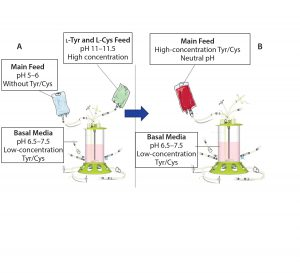Figure 1: Traditional feeding strategies rely on a main feed and a separate alkaline feed containing l-tyrosine and l-cysteine (a). This study demonstrates the use of a combined main feed with high concentrations of tyrosine and cysteine derivatives at neutral pH (b).