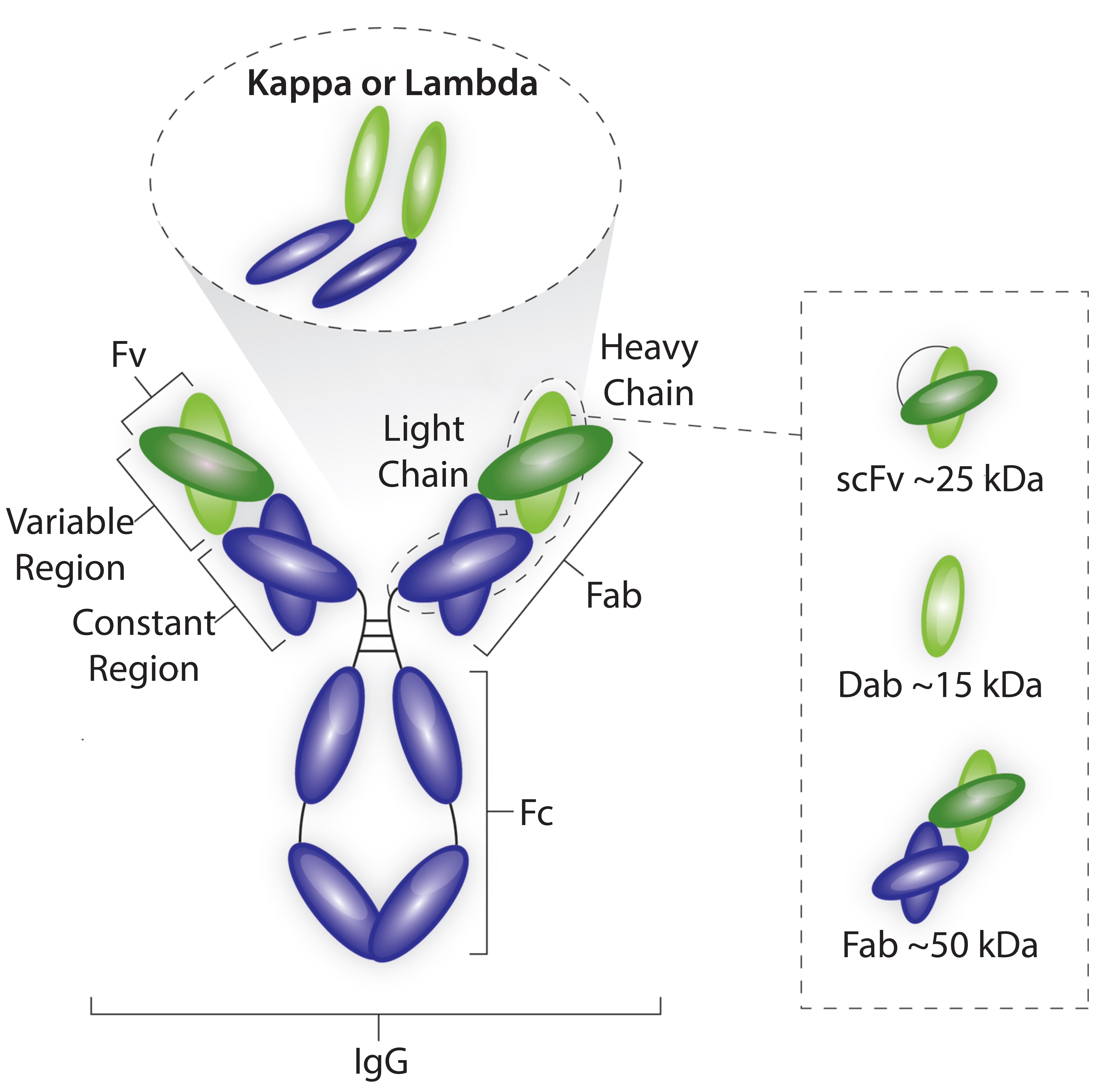 Fragment Antigen Binding